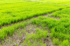 Rice field background and texture Royalty Free Stock Photos