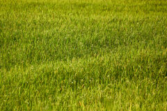 Rice field background. Rice field texture background seamless stock photography