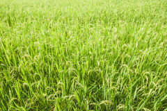 Rice field background Royalty Free Stock Images