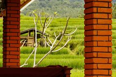 Rice field in Bali Stock Images