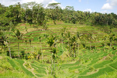 Rice field in Bali Royalty Free Stock Image