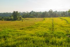 Rice field in Bali Royalty Free Stock Photos