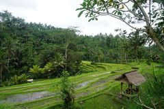 Rice field Bali with clouds and palm trees. Jungle view very green Rice field Bali with clouds and palm trees royalty free stock photography