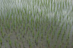 Rice field in Bali, Indonesia. Rice field in Bali countryside stock photography