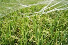 Rice field in Bali, Indonesia. Rice field in Bali countryside stock image