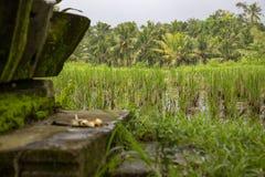 Rice field Bali royalty free stock photography