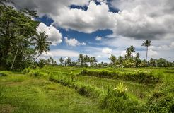 Rice field in Bali. A field with palm trees. Sunny landscape. Tropics. Rice field in Bali. A field with palm trees. Sunny landscape stock photo