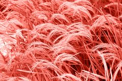 Rice field in Bali, food production in Indonesia. Trendy color of year 2019. Close up stock photography