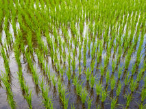 Rice field in Bali Royalty Free Stock Images