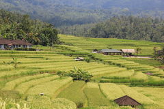 Rice Field in Bali Royalty Free Stock Photo