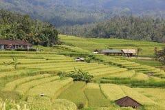Rice Field in Bali. Greenery rice field in Bali Royalty Free Stock Photo