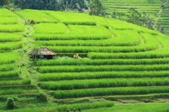 Rice Field at Bali Indonesia Royalty Free Stock Image