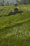 Rice field in Bali, Indonesia. Stock Photo