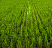 Rice field of bali, indonesia Stock Images