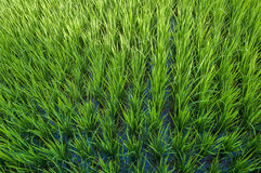 Rice field of bali, indonesia Royalty Free Stock Images