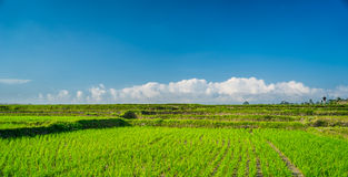 Rice field in Bali. Indonesia stock photo