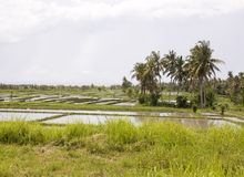 Rice field on Bali. Indonesia royalty free stock photography