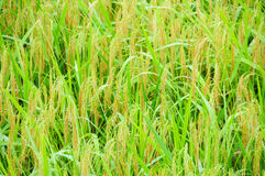 Rice field of Bali, Indonesia, detail Royalty Free Stock Photography