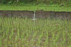 Rice field in Bali, Indonesia. Rice field in Bali countryside royalty free stock photography