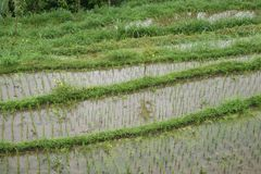 Rice field in Bali, Indonesia. Rice field in Bali countryside royalty free stock photos