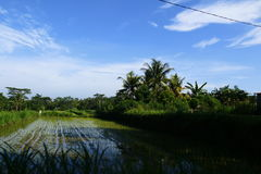 Rice field. Bali Indonesia taken from moving car Stock Photo