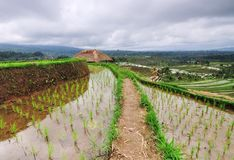 Rice Field in Bali Indonesia. View of rice Field in Bali Indonesia royalty free stock image