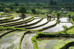 Rice Field in Bali stock photography