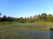 Rice Field in Bali Stock Photo