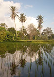 Rice field in Bali with palms. A rice field near Ubud, Bali. Reflections of palms in the water Stock Image