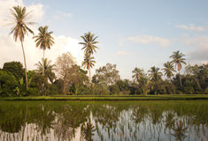 Rice field in Bali with palms Stock Photography