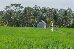 Rice field Bali. A rice field in Bali with a small hut and palm trees at the end royalty free stock image