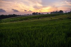 Rice field in Bali at sunset time, Indonesia.  stock photography