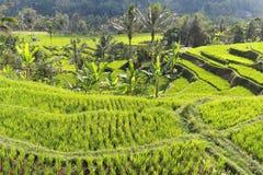 Rice Field Bali Ubud Stock Photography