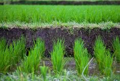 Rice field in Bali vilage Stock Images