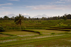 Rice field in Bali with vulcanos on the background Stock Photos