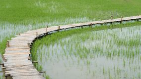 Rice field with bamboo bridge. Top view of Rice field with bamboo bridge walking trail in the morning at rural in rainy season, Nakhon Nayok Province, Thailand Stock Photos