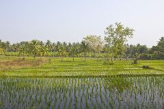 Rice field and banana plantation Stock Images