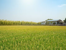 Rice field and a barn under the sun and clear blue sky. Royalty Free Stock Photo