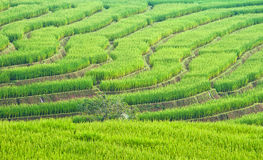Rice field. Beautiful green rice field terrace in thailand Royalty Free Stock Images