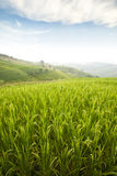 Rice field. Beautiful green rice field terrace in thailand Stock Image