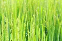 Rice field. Beautiful paddy rice plant field Stock Photo