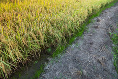 Rice field. Beautiful rice field photo in Thailand Stock Photography