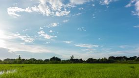 Rice field with beautiful sky. stock video
