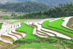 Rice field. Beautiful  rice field in Vietnam Royalty Free Stock Images