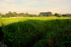 Rice field began to grow stock images