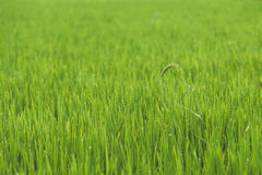 Rice on field Royalty Free Stock Image