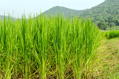 Rice field and big mountain Royalty Free Stock Photos