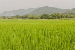 Rice field and big mountain Stock Photography