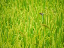 Rice Field with bird. Rice in Field and bird Stock Photography