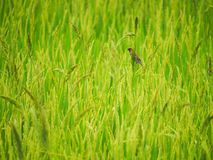Rice Field with bird. Rice in Field and bird Stock Photos